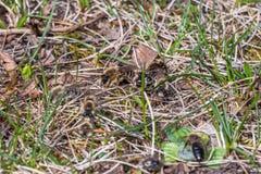 Abeja de mina masculina que rodea la abeja de mina femenina Imagenes de archivo