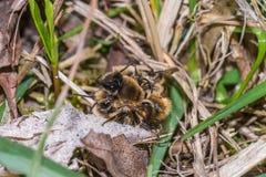 Abeja de mina masculina que rodea la abeja de mina femenina Imagen de archivo libre de regalías