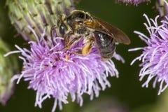 Abeja de mina que sonda para el néctar en una flor púrpura del cardo Fotos de archivo