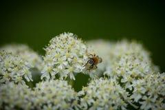 Abeja de mina temprana (haemorrhoa de Andrena) en el wildflower 4 de la milenrama Fotos de archivo libres de regalías