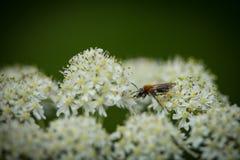 Abeja de mina temprana (haemorrhoa de Andrena) que recoge el polen en el wildflower 3 de la milenrama Fotos de archivo libres de regalías