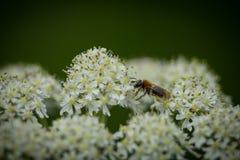 Abeja de mina temprana (haemorrhoa de Andrena) que recoge el polen en el wildflower 2 de la milenrama Fotografía de archivo libre de regalías