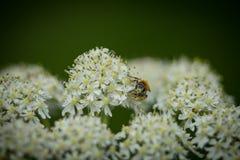 Abeja de mina temprana (haemorrhoa de Andrena) que recoge el polen en wildflower de la milenrama Foto de archivo libre de regalías