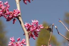 Abeja de polinización que asoma antes de una floración del redbud Imagen de archivo libre de regalías
