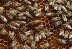 Abeja de reina en el peine con las abejas de trabajador Imágenes de archivo libres de regalías