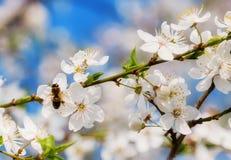 Abeja de Sakura Flower o de Cherry Blossom With Honey Imagen de archivo