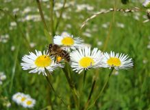 Abeja de Spyltsoy en una flor Fotos de archivo