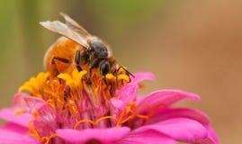 Abeja de trabajador con polen de la flor del zinnia Imagenes de archivo