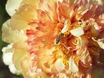 Abeja de trabajador en la flor de la peonía Fotos de archivo libres de regalías
