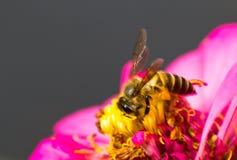 Abeja de trabajador en la flor roja Imagen de archivo libre de regalías