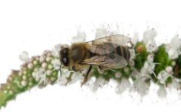 Abeja de trabajador femenina, plumipes de Anthophora Fotos de archivo libres de regalías