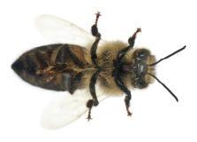 Abeja de trabajador femenina, plumipes de Anthophora Imagen de archivo libre de regalías