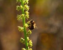 Abeja de trabajador que recoge el polen en las flores salvajes Imágenes de archivo libres de regalías