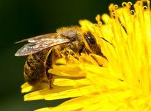 Abeja de trabajador que recolecta el polen del diente de león Imagenes de archivo