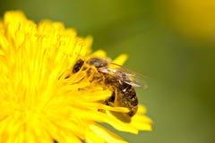 Abeja de trabajador que recolecta el polen del diente de león Foto de archivo