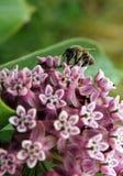 Abeja de trabajo en flores Fotografía de archivo libre de regalías