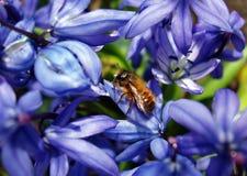 Abeja de trabajo en flores Fotos de archivo libres de regalías