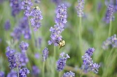 Abeja de trabajo en las flores Fotos de archivo