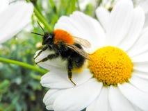 Abeja de trabajo grande pulverizada con polen en una flor Imagen de archivo