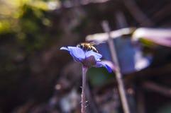 Abeja de trabajo que recoge el néctar en la flor de Hepatica Imagen de archivo