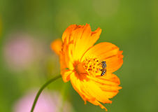 Abeja de trabajo que recoge el polen de la flor Foto de archivo