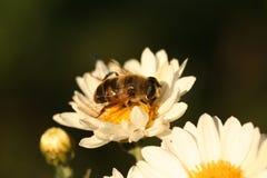 Abeja del abejón en el crisantemo de la flor Fotografía de archivo