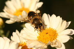 Abeja del abejón en el crisantemo de la flor Fotografía de archivo libre de regalías