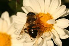Abeja del abejón en el crisantemo de la flor Imágenes de archivo libres de regalías