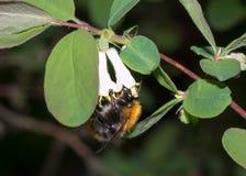Abeja del abejorro Fotografía de archivo