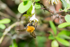 Abeja del abejorro Imagen de archivo