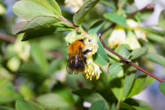 Abeja del abejorro Fotos de archivo