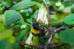 Abeja del abejorro Foto de archivo libre de regalías