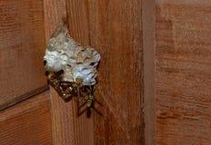 Abeja del avispón de la avispa, poniendo larvas del huevo y potecting la colmena Foto de archivo