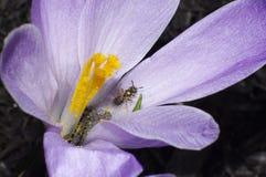 Abeja del azafrán de la primavera Fotos de archivo