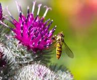 Abeja del Bombyliidae Fotos de archivo