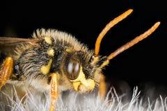 Abeja del cuco, Nomada, abeja Fotografía de archivo libre de regalías
