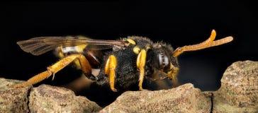 Abeja del cuco, Nomada, abeja Imagen de archivo