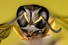 Abeja del cuco, Nomada, abeja Imagen de archivo libre de regalías
