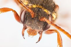 Abeja del cuco, Nomada, abeja Fotografía de archivo