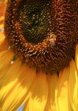 Abeja del girasol Foto de archivo libre de regalías