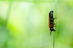 abeja del Hoja-corte en naturaleza verde macra Imagen de archivo