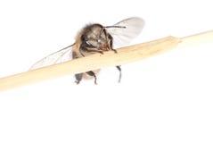 Abeja del insecto Fotografía de archivo