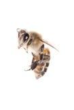 Abeja del insecto Imagenes de archivo