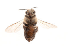 Abeja del insecto Fotos de archivo