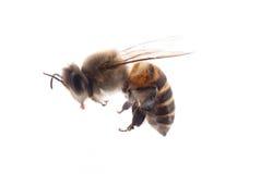 Abeja del insecto Fotografía de archivo libre de regalías