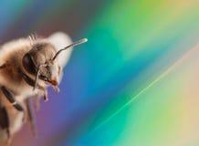 Abeja del insecto Imágenes de archivo libres de regalías