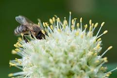 Abeja del insecto Fotos de archivo libres de regalías