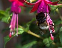 Abeja del jardín (Bombus Hortorum) con fuschia Fotografía de archivo libre de regalías