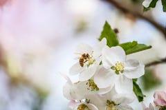Abeja del jardín de flores Fotografía de archivo libre de regalías