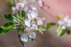Abeja del jardín de flores Imagenes de archivo